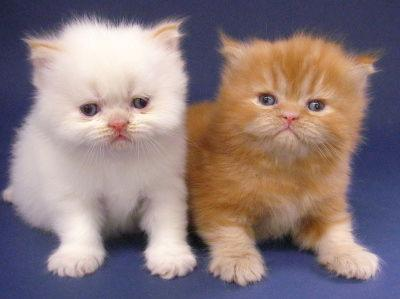 Mithril. Kucing Persia jantan asal New Zealand, peraih runner up kelas